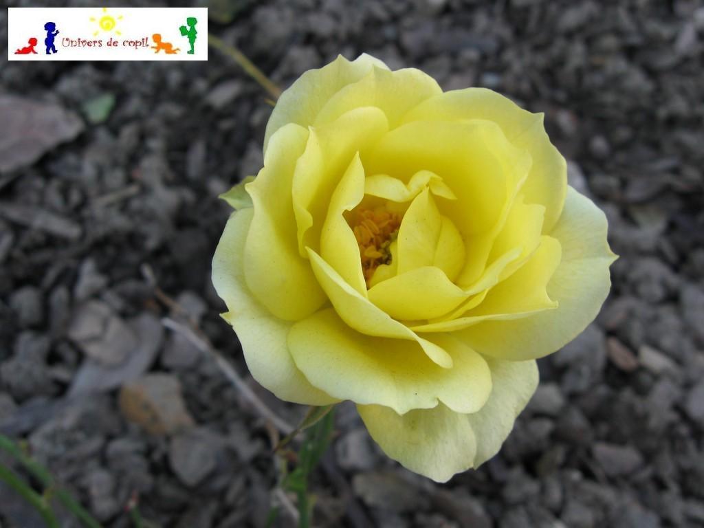 cu trandafiri gasiti pe http://www.interferente.ro/Imagini-si-poze-cu